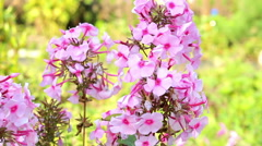 Beautiful spring background with pink flowers in the garden Stock Footage