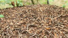 Big ant hill in the forest Stock Footage