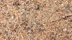 Stormy ants run in the ant hill Stock Footage