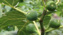 Closeup shot of a green figs fruit growing on the branch Stock Footage