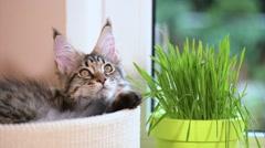 Kitten with green grass on windowsill Stock Footage
