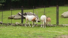 Scimitar Horned Oryx Stock Footage