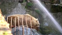 Ice bear lying on cliffs in the zoo Stock Footage