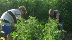 Two men care and clean bush tomato. Checks the quality of plants. Stock Footage
