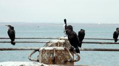 Cormorants in Cruise Port General San Martin Pisco - Peru Stock Footage