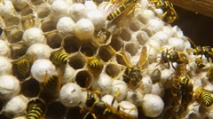 A Plurality of Striped Wasps in Honeycomb Close-Up Stock Footage