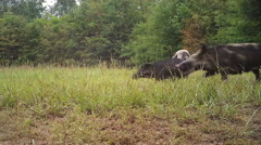 Wild Boar attacks Piglet Stock Footage