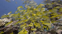 Bright Yellow fish - Five lined snapper school Stock Footage