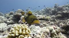 Titan triggerfish bites bleached reef Stock Footage