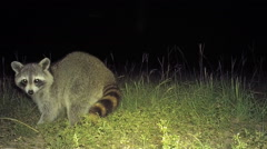 Raccoon watching for danger Stock Footage