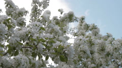 Blooming apple tree against the blue sky Stock Footage