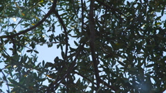 Olive tree branches and olives in a windy day Stock Footage