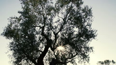 Olive tree silhouette at sunset Stock Footage