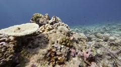 Damaged coral pan Stock Footage