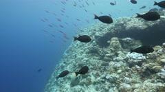 Surgeonfish on reef ledge Stock Footage