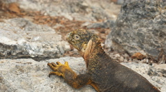 High angle close up of a land iguana on south plazas in the galapagos Stock Footage