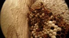 Many Orange and Black Striped Wasps Crawling Along Honeycomb Closeup Stock Footage