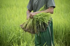 thai farmer and green rice paddy plant in agriculture field - stock photo