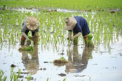 Thai farmer planting young paddy in agriculture field Stock Photos