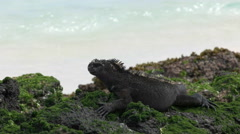 Close up of a marine iguana on the shore of isla san cristobal in the galapagos Stock Footage