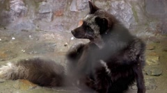 Arctic fox scratching in zoo Stock Footage