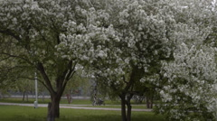 Blooming apple trees in the park Stock Footage