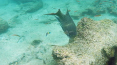 Underwater shot of a mexican hogfish at isla bartolome in the galapagos Stock Footage