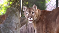 Mountain Lion walking in zoo Arkistovideo