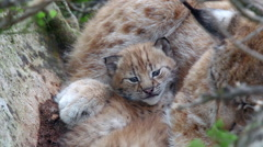Lynx cub laying between her mother legs watching Stock Footage
