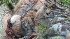 Lynx cub laying between her mother legs watching close view Stock Footage