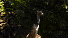 Emu and vegetation Stock Footage