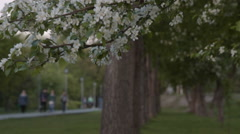 Blooming apple tree and people in park Stock Footage
