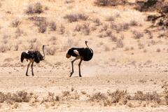 Ostrich in dry Kgalagadi park, South Africa Stock Photos
