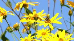 Jerusalem Artichoke Bumblebee Stock Footage