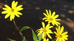 Jerusalem Artichoke Flowers Bees Stock Footage