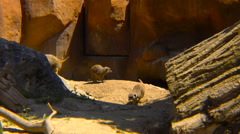 Meerkats running between rocks Stock Footage