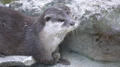 Cute otter playing with a stone Stock Footage