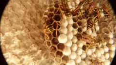 Orange and Black Striped Wasps Swarming Along Honeycomb Closeup Stock Footage