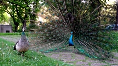 2 Peacocks playing in zoo Stock Footage