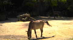 Przewalski's horse in captivity Stock Footage