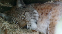 Lynx female laying watching inside den Stock Footage