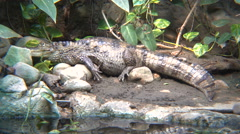 Spectacled caiman by the river Stock Footage