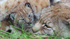 Lynx cub laying between her mother legs watching falling to sleep Stock Footage