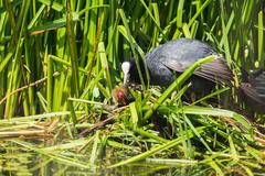 Common Coot (Fulica atra) parent with chick on nest, Leiden, Zuid-Holland, Ne Stock Photos