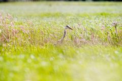 Grey Heron (Ardea cinerea) sideview in grass. Leiden. Zuid-Holland. The Nethe Stock Photos