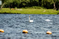Mute Swan (Cygnus olor), swimming, Leiden, The Netherlands, July Stock Photos