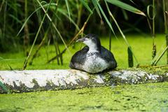 Youngster coot resting on tree trunk near reed. Leiden. Zuid-Holland. The Net Stock Photos