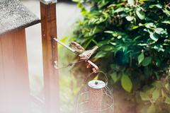 Two tree sparrows at bird feeder holder in garden Stock Photos