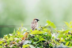 Male Tree Sparrow (Passer montanus) perched on twig in garden, Leiden, The Ne Stock Photos