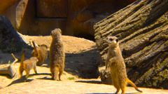 Suricates running between rocks Stock Footage